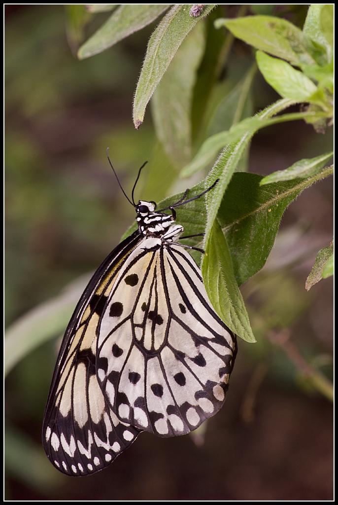 Serre au Papillons 20110410_10h44_Papillons_011
