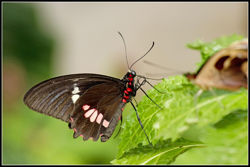 Serre au Papillons 20110410_10h45_Papillons_015