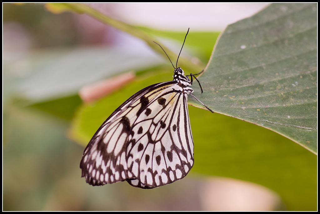 Serre au Papillons 20110410_11h02_Papillons_041