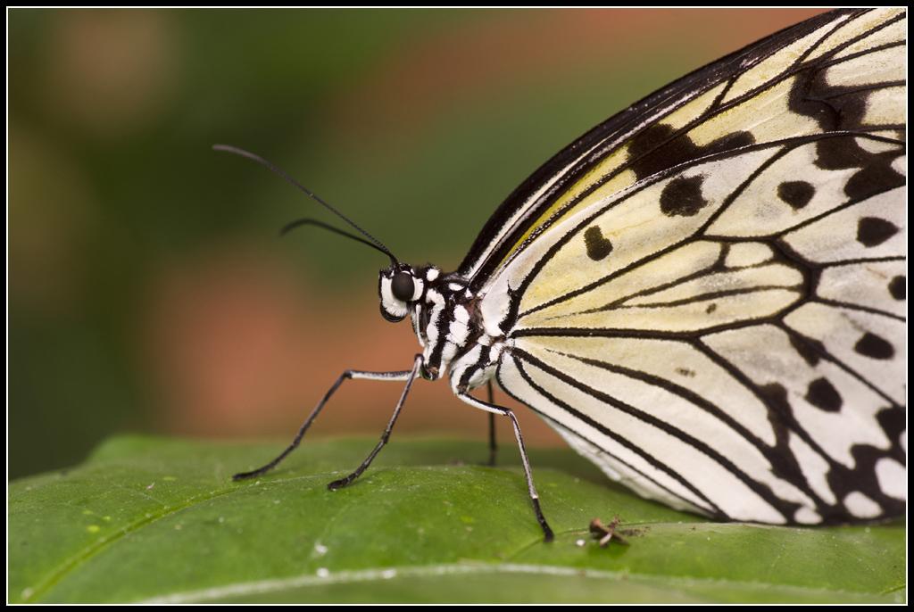Serre au Papillons 20110410_11h05_Papillons_052