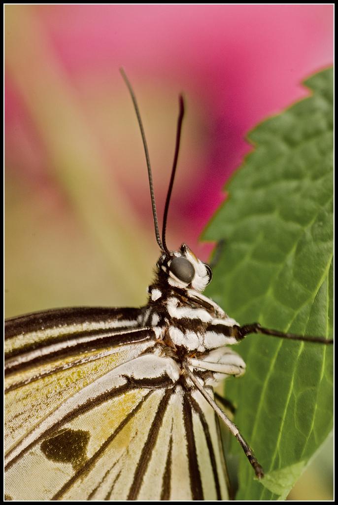 Serre au Papillons 20110410_11h11_Papillons_061