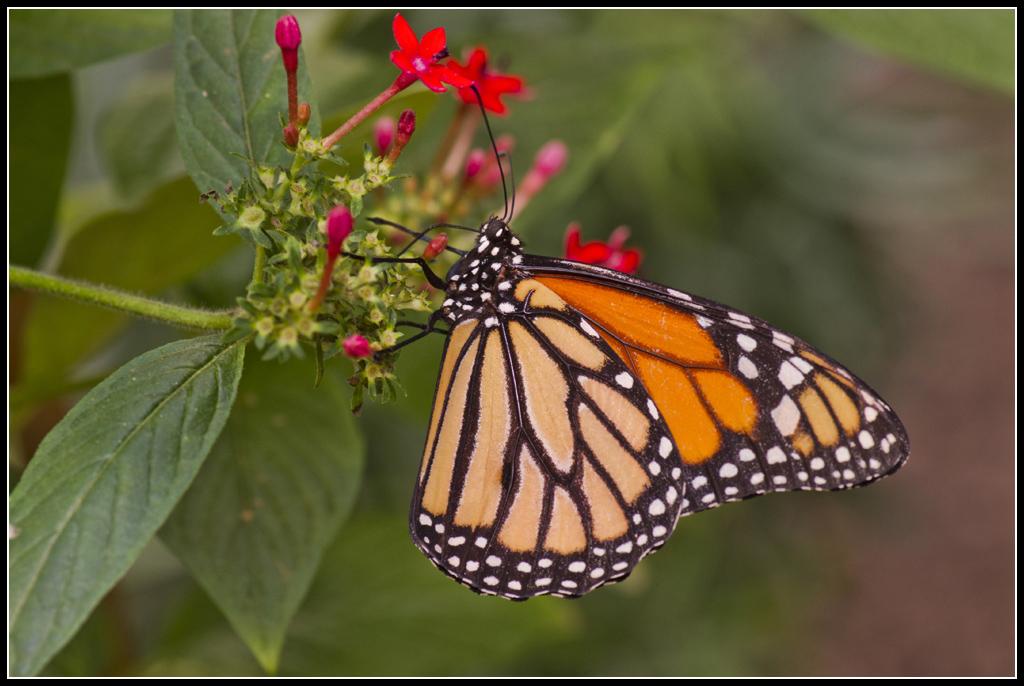 Serre au Papillons 20110410_11h40_Papillons_134